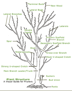 pruning  Tips how make safe For trees