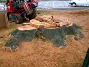 Removal stump ater Tree cut down