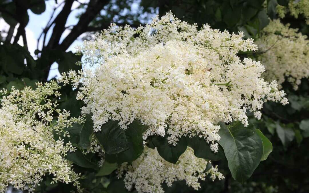 japanese lilac tree care How