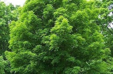 Pruning Silver Maples