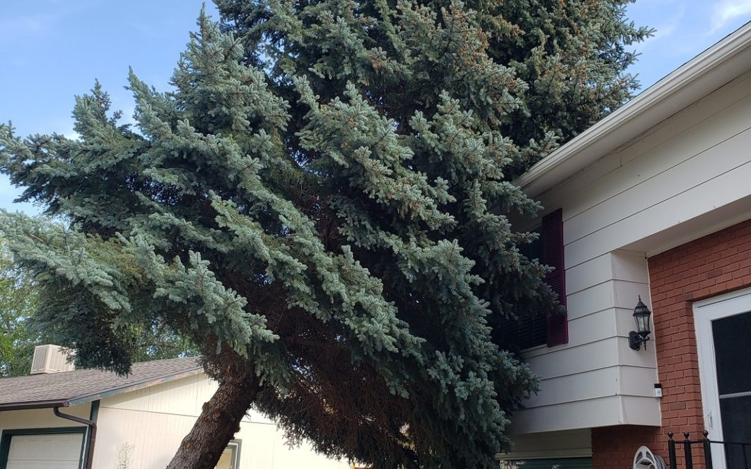 Evergreen tree removal cost uprooted after emergency storm