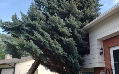Evergreen Tree removal Cost? 2021