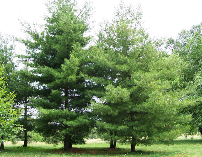 Pine Tree Removal cost average